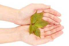 Feuille verte d'arbre d'érable d'isolement sur le fond blanc Photos libres de droits