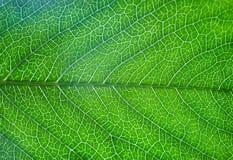 feuille verte d'arbre avec des filets Photographie stock libre de droits