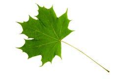 Feuille verte d'arbre d'érable d'isolement sur le backg blanc Photos libres de droits