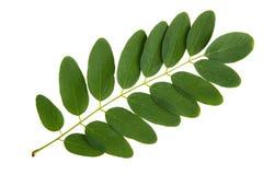 Feuille verte d'arbre d'acacia Photos stock