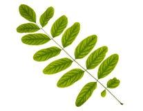 Feuille verte d'arbre d'acacia d'isolement sur le fond blanc Images libres de droits