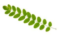 Feuille verte d'arbre d'acacia d'isolement sur le fond blanc Images stock