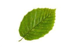 Feuille verte d'arbre d'orme d'isolement sur le backgro blanc Photos libres de droits