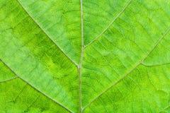 Feuille verte d'arbre noisette Images libres de droits