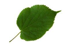 Feuille verte d'un arbre Photographie stock