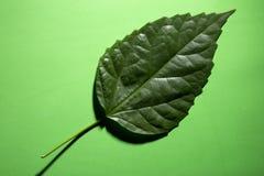 Feuille verte d'une usine sur un vert photographie stock libre de droits