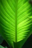 Feuille verte de Canna avec des veines (macro) Photos libres de droits