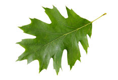 Feuille verte de chêne rouge Images stock
