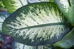 Feuille verte de Dieffenbachia images stock