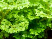 Feuille verte de fraîcheur de fougère d'involvens de Selaginella Photographie stock