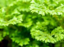 Feuille verte de fraîcheur de fougère d'involvens de Selaginella Photos libres de droits