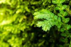 Feuille verte de fraîcheur de fougère d'involvens de Selaginella Image libre de droits