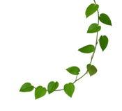 Feuille verte de grain de poivre d'isolement sur le fond blanc, coupant Photo libre de droits