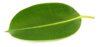 Feuille verte de la plant gommifère image stock