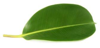 Feuille verte de la plant gommifère photos stock