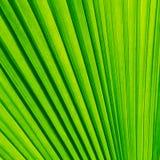 Feuille verte de palmier Images libres de droits