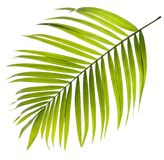 Feuille verte de palmier sur le blanc Image libre de droits