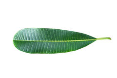 Feuille verte de plumeria d'isolement sur le blanc Photos stock