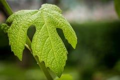 Feuille verte de raisins au printemps Photo stock