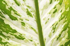 Feuille verte de texture, dieffenbachia images libres de droits