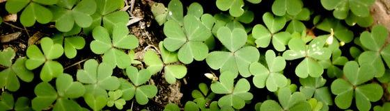 Feuille verte de tr?fle d'isolement sur le fond blanc avec les oxalidex petite oseille trois-leaved Symbole de vacances de jour d image stock