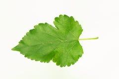 Feuille verte dentelée d'isolement sur le fond blanc Images stock