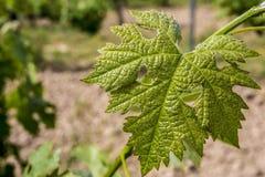 Feuille verte des raisins avec un coeur - un signe de l'amour Photo stock