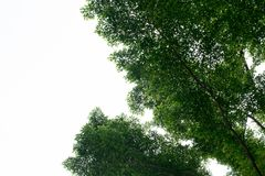 feuille verte fraîche d'arbre de la vue inférieure d'isolement Photographie stock
