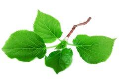 Feuille verte fraîche sur le concept blanc de nature de ressort Photographie stock