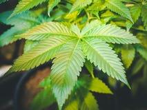 Feuille verte iconique de marijuana s'élevant sur le Pla d'intérieur touffu de cannabis Photographie stock libre de droits