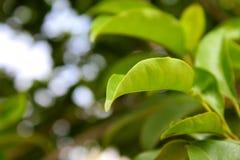 Feuille verte naturelle brouillée Image libre de droits