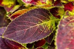 Feuille verte rouge Images libres de droits