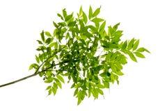 Feuille verte sur l'isolat de branches sur le fond blanc Photo stock