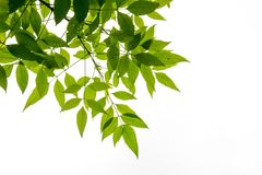 Feuille verte sur l'isolat de branches sur le fond blanc Images stock