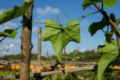 Feuille verte sur le fond de ciel bleu Nettoyez l'environnement Ferme végétale Image libre de droits