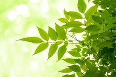 Feuille verte sur le fond vert blanc mou de bokeh Photos libres de droits