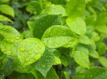feuille verte sur pleuvoir le jour Photo stock