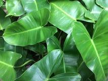 feuilles épaisses vertes Photo stock