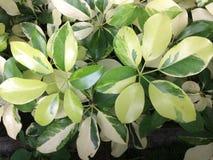 feuilles épaisses vertes Photos libres de droits