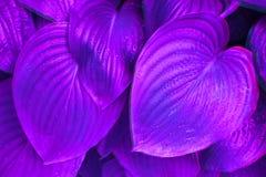 Feuilles au néon de hosta dans la rosée de matin photo libre de droits