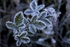 Feuilles avec de la glace, en hiver image libre de droits