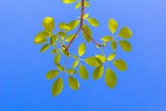 Feuilles avec le ciel bleu lumineux Photographie stock libre de droits