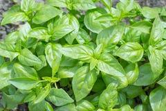 Feuilles basilic organiques fraîches, basilic vert, usine croissante dans le jardin, dehors, fond naturel de nourriture Photo libre de droits