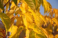 Feuilles colorées à la lumière du soleil automnale Image stock
