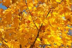 Feuilles colorées à la lumière du soleil automnale Photographie stock