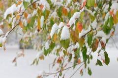 Feuilles colorées avec la neige dans le jardin d'hiver Photo libre de droits