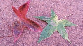 Feuilles colorées d'érable avec la couleur de chute Photos stock