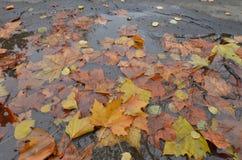 Feuilles colorées d'arbre de Platanus dans le magma minuscule de l'eau photo libre de droits