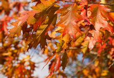 Feuilles colorées d'Autumn Oak Photo libre de droits