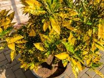 Feuilles colorées d'or en Israël Fermez-vous vers le haut du tir Image stock